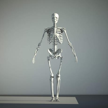 3D Anatomical Model Human Skeleton